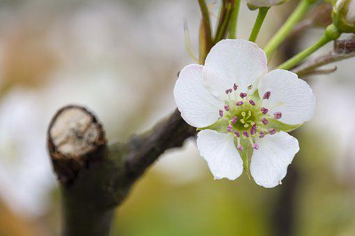 Flower, Pear, Foliage, White Flower, White