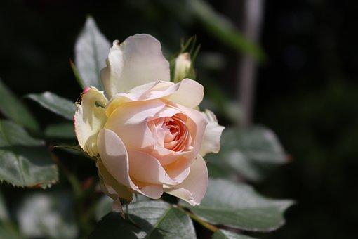Flower, White, Roses, Bride, Floribunda, Garden, Bloom