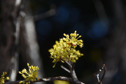 Spring, Flowers, Yellow, Cornus Flower, Affix
