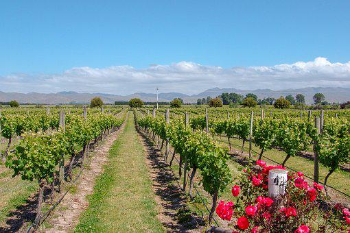 Vineyard, Australia, Rose, Wine, Viticulture, Country