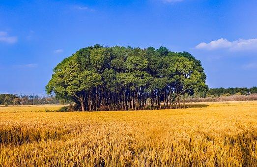 Rice, Big Trees, Yellow, Blue Sky, White Cloud, Harvest