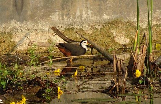 Bird, White-breasted Waterhen, Amaurornis Phoenicurus