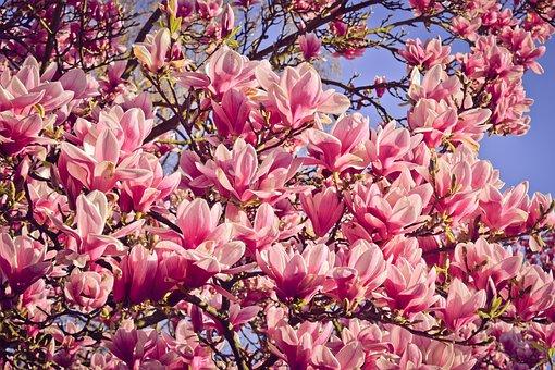 Nature, Tree, Magnolia, Blossom, Bloom, Bloom, Spring