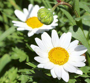 Daisy, White, Bloom, Blossom, Flower, Yellow