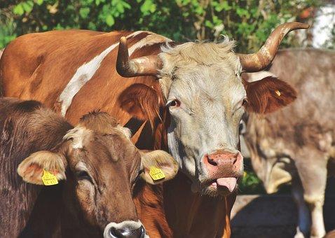 Bull, Ox, Cow, Cattle, Horns, Dairy Farming