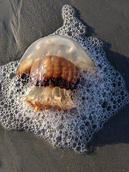 Cannonball Jellyfish, Myrtle Beach, Atlantic Ocean