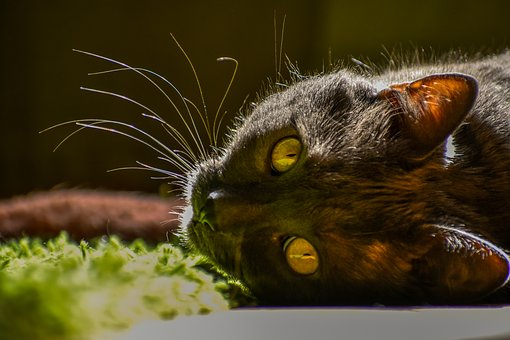 Cat, Animal, Face