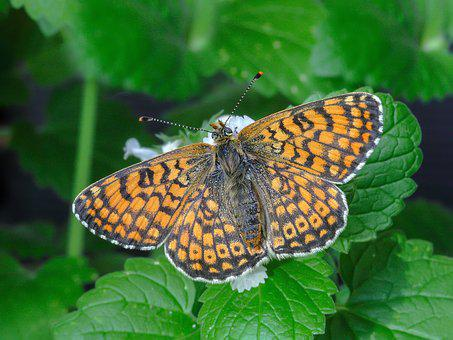 Butterfly, Glanville-fritillary, Wings, Antenna, Close
