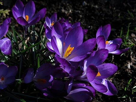 Crocus, Violet, Blossom, Bloom, Early Bloomer