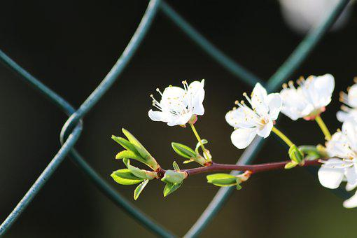 White Flowers, Spring, Fence Net, Blossom, Blooming