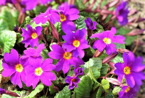 Flowers, Primroses, Mountain Primroses, Spring