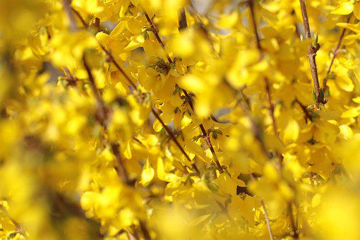 Forsythia, Chinese Bellflower, Flowers, Bush, Spring