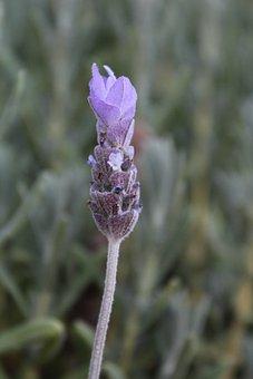 Lavender, Flower, Purple, Focus, Closeup, Fragrance