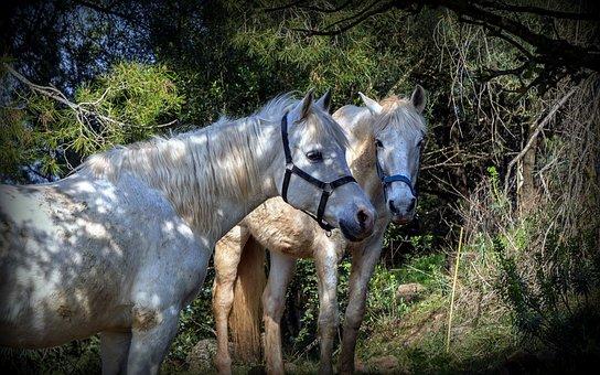 Horses, Animals, Horse Riding, Equine, Mammals