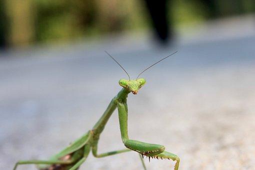 Bug, Mantis, Preying Mantis, Insect, Predator, Bugs
