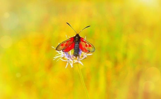Kraśnik Pięcioplamek, Insect, Butterfly Day, Antennae
