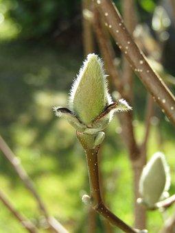 Magnolia, Bud, Spring, Nature, Garden, Close Up