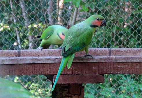 Bird, Parrot, Long-tailed Parakeet