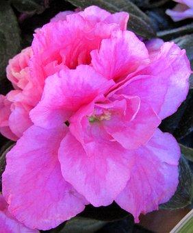 Azalea, Blossom, Bloom, Close Up, Nature, Plant, Flower