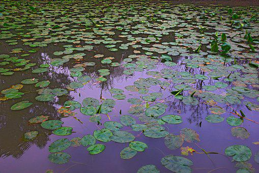 Water Lilies, Springtime, Outdoor, Pond, Tranquil