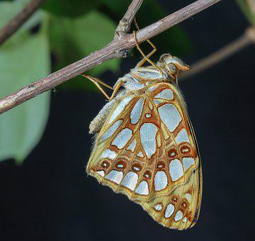 Butterfly, Queen- Of- Spain-fritillary, Wings, Antenna