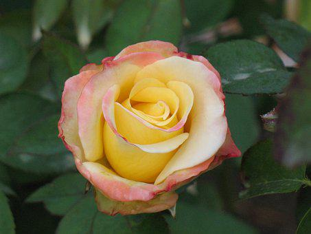 Rose, Colors, Blossom, Flower, Nature, Colorful, Pink