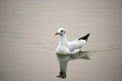 Seabird, Seagull, Bird, Wildlife, Animal, Beach, Sea