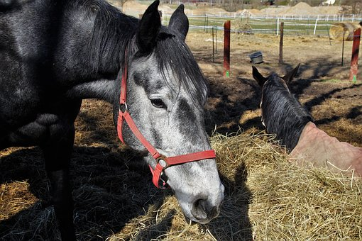 Horse, Equine, Senior, Life Expectancy, Old, Shelter