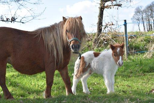 Shetland Pony, Pony Shetland Glamour, Baby Foal