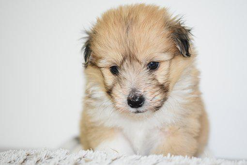 Puppy, Dog, Pup, Adorable, Cute, Small Dog, Portrait