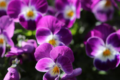 Thoughts, Flowers, Spring, Bloom, Garden, Colorful
