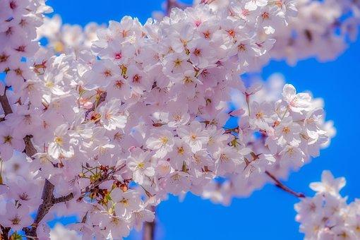 Japanese Cherry, Tree, Spring, Branch, Cherry Blossom