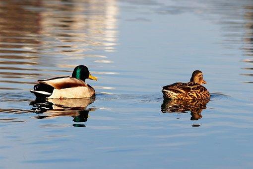 Female And Male Ducks, Birds, Swimming, Lake