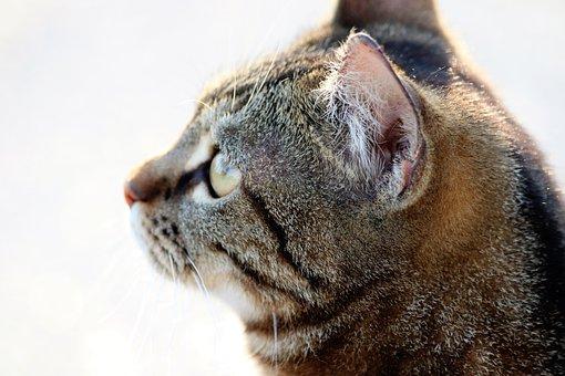 Tiger Cat, Pet, Cute, Domestic, Nature, Outdoor