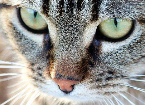Tiger Cat, Green Eyes, Pet, Cute, Domestic, Nature
