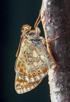 Butterfly, Marsh-fritillary, Wings, Antenna, Wetlands