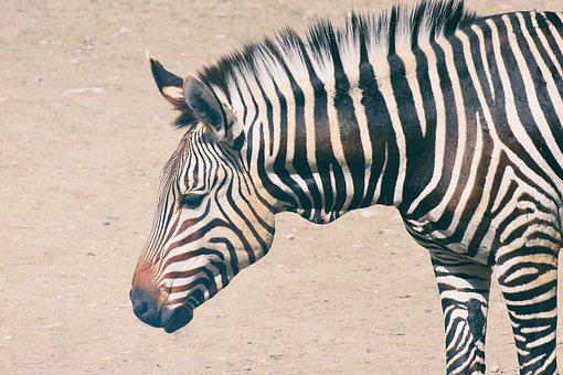 Zebra, Wild Animal, Zoo, Africa, Animal, Crosswalk