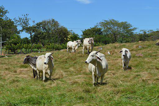 Animal Husbandry, Cow, Livestock, Animals, Agriculture