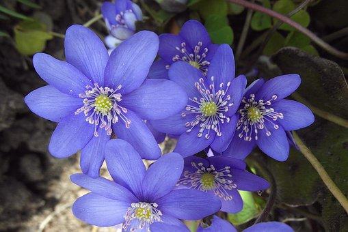 Przylaszczki, Common, Jaskrowate, Anemone, Flowers