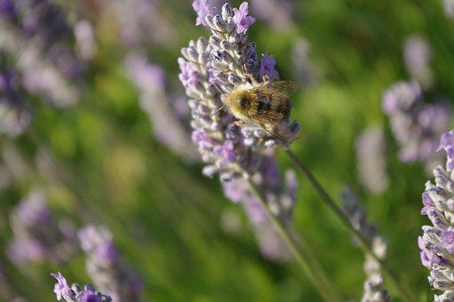Bee, Lavender, Bumblebee, Insect, Flower, Summer