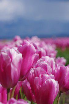 Flowers, Tulips, Purple, Tulip, Nature, Bloom, Colorful