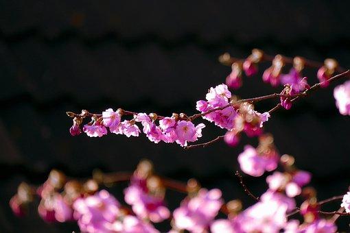 Blossom, Cherry, Spring, Pink, Tree, Bloom, Branch