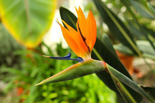 Flower, Plant, Blossom, Bloom, Bird Of Paradise Flower
