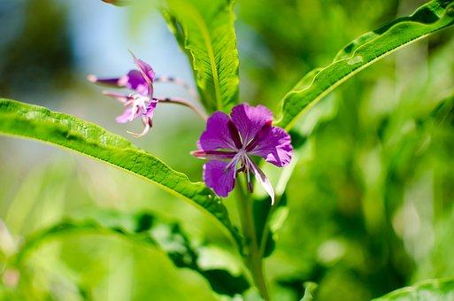 Chamaenerion Angustifolium, Nature, Fireweed, Plant