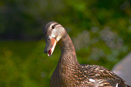 Female Mallard, Duck, Curious, Questioning, Nature