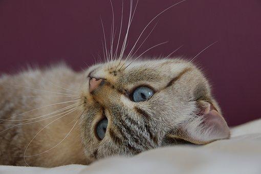 Cat, Cute, Blue Eyes, Feline, Fur, Animals, Portrait