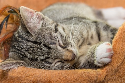 Cat, Small, Sleeping, Cute, Kitten, Animal, Pet, Sweet