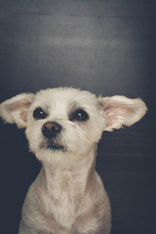 Dog, White, Small, Sweet, Cute, Dog Look, Maltese