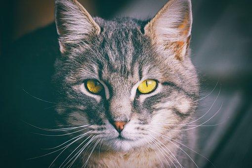 Cat, Domestic Cat, Eyes, Pet, Cat's Eyes, Portrait