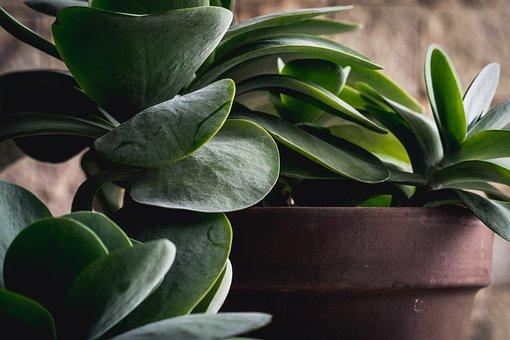 Plant, Dracaena, Flora, Succulent, Nature, Green